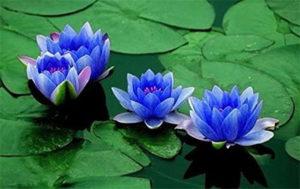 スリランカの国花
